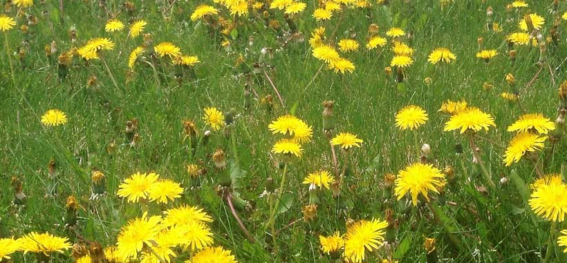 best ways to get rid of dandelions in a lawn