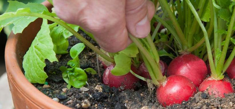 growing radishes in a container