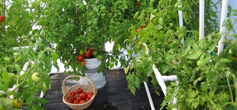 growing tomatoes ina container