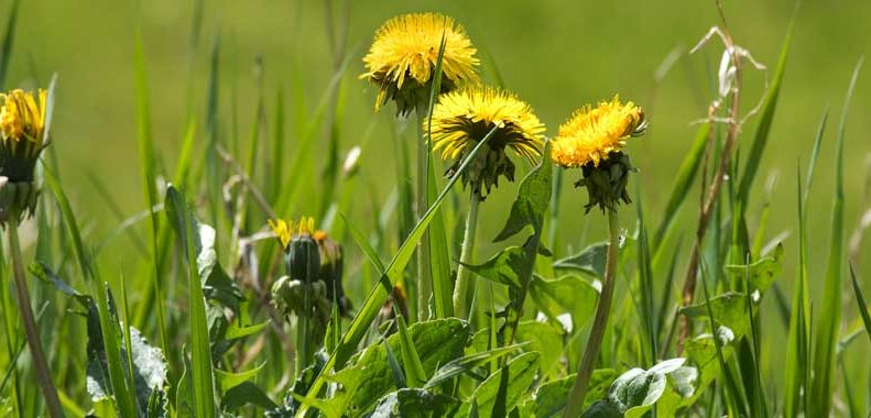 how to get rid of dandelions in the lawn