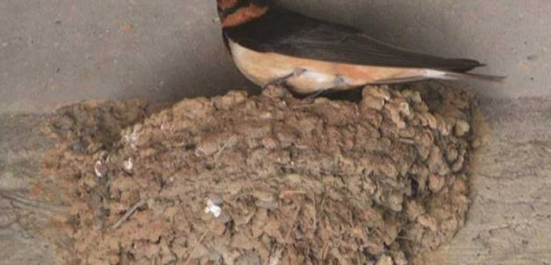 how to get rid of barn swallows