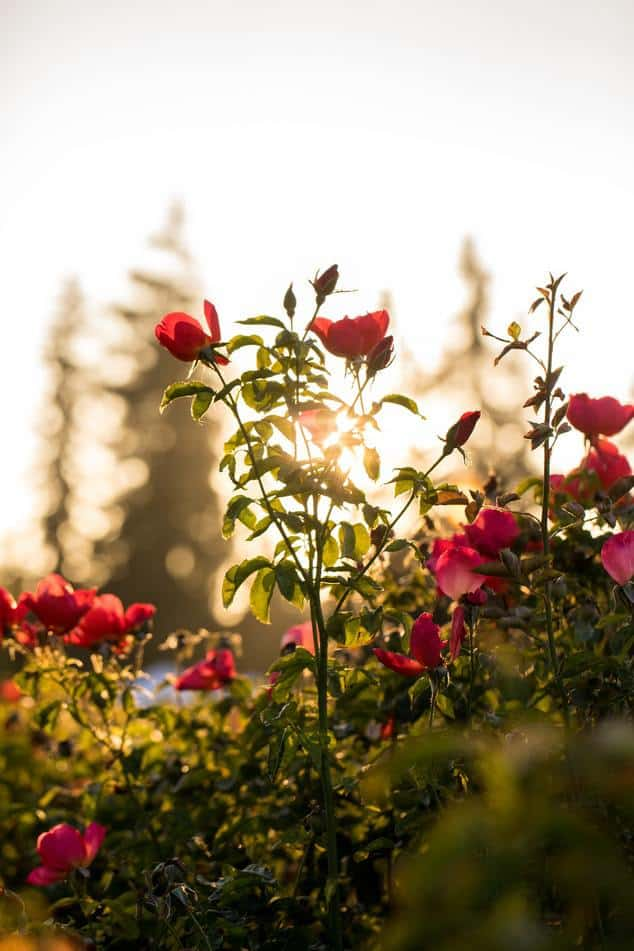 a bush of roses to bloom all summer