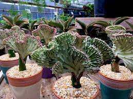 caring for coral cactus
