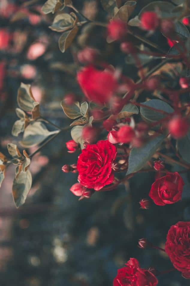 how to make a rose bush bloom more