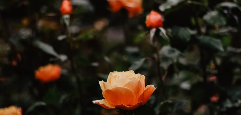 roses to bloom all summer