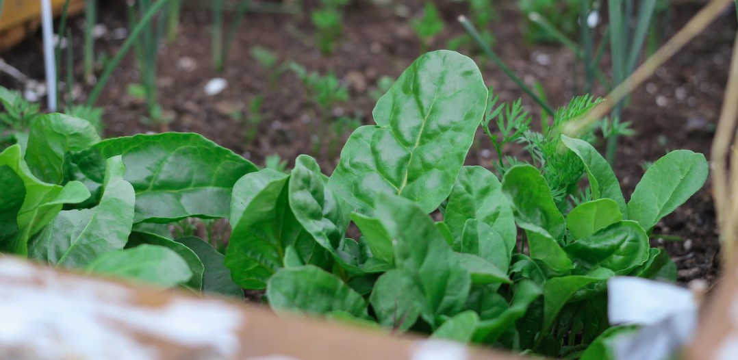 growing spinach in a container