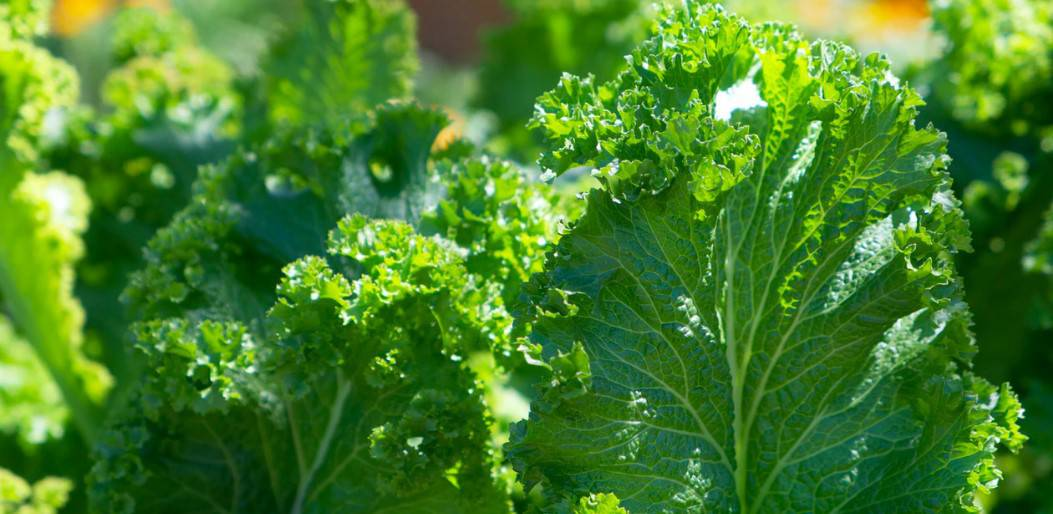 growing your own kale in a container