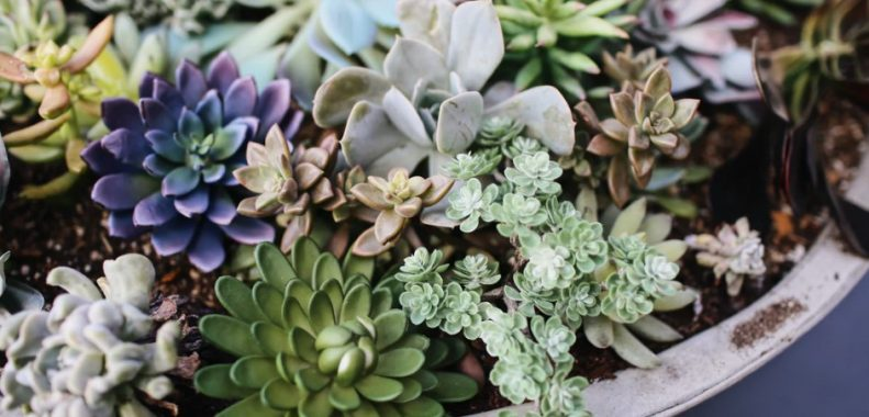 how much light do succulents need