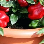 how to grow bell peppers in a container